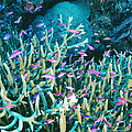 Anthias Fish In Coral by Matthew Oldfield