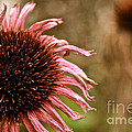 Antique Cone Flower by Susan Herber