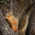 Apache Fox Squirrel by David Salter