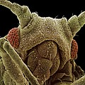 Aphid Head, Sem by