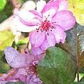 Apple Blossom II Ab2wc by Jim Brage
