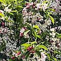Apple Blossom (malus 'pom Zai') by Adrian Thomas