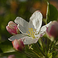 Apple Blossom by Mick Anderson