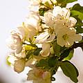 Apple Blossoms 9 by Lorraine Vatcher
