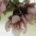 Apple Blossoms by Ellen Heaverlo