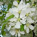 Apple Blossoms On The Trail by LeeAnn McLaneGoetz McLaneGoetzStudioLLCcom
