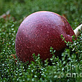 Apple Gravity by Susan Herber
