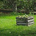 Apple Picking by Rhonda Jones