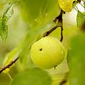 Apple Taste Of Summer by Jenny Rainbow