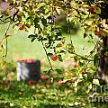 Apple Tree by Kati Finell