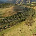 Apple Tree Orchard Like River In  Mountain by Bernard Grua