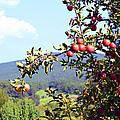 Apples On A Tree by Susan Leggett