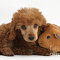 Apricot Miniature Poodle Pup With Red by Mark Taylor