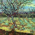 Apricot Trees In Blossom by Pg Reproductions