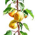 Apricots by Irina Sztukowski