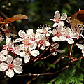 April Plum Blossom by Peter Mooyman