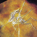 Archaeopteryx Lithographica by Photo Researchers
