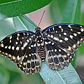 Archduke Butterfly by Tony Murtagh
