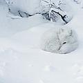 Arctic Fox Alopex Lagopus Curled by Matthias Breiter