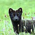 Arctic Fox by Kenneth Blye