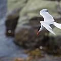 Arctic Tern (sterna Paradisaea) by Aluma Images
