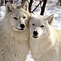 Arctic Wolves Close Together In Winter by Mark Duffy