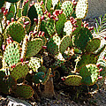 Arizona Prickly Pear Cactus by Methune Hively