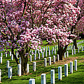 Arlington Cherry Trees by Brian Jannsen