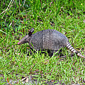 Armored Armadillo 02 by Al Powell Photography USA