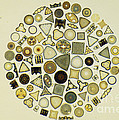 Arrangement Of Diatoms by M. I. Walker