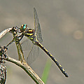 Arrowhead Spiketail Dragonfly - Cordulegaster Obliqua by Mother Nature