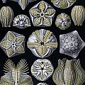 Artforms Of Nature by Ernst Haeckel