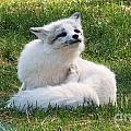 Artic Fox by Vicki Lomay