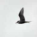 Artic Tern by Lynn Bolt