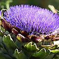 Artichoke Flower  by Saija  Lehtonen