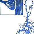Artwork Of A Nerve Cell Of The Brain & A Synapse by Hans-ulrich Osterwalder