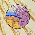 Artwork Of The Mechanism Of Rheumatoid Arthritis by John Bavosi