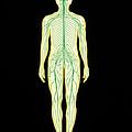 Artwork Showing The Human Nervous System by John Bavosi
