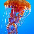Ascending Jellyfish by Carla Parris