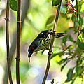 Asian Glossy Starling by Jean Haynes