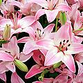 Asiatic Lily (lilium 'vermeer') by Cordelia Molloy