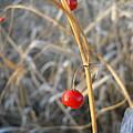 Asparagus Berries by Kent Lorentzen