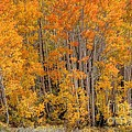 Aspen Forest In Fall - Wasatch Mountains - Utah by Gary Whitton