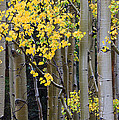Aspen Gold by Adam Pender