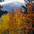 Aspen Grove And Pikes Peak by Kimberlee Fiedler