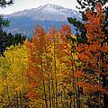 Aspen Grove And Pikes Peak by Kimberlee Fiedler
