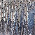 Aspen Grove by Colleen Coccia
