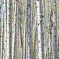 Aspen Grove by Donna Greene