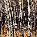 Aspen Grove by Jonathan Abrams