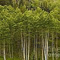 Aspen Grove by Peggy Starks